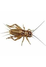 Cricket Supplier Live Crickets