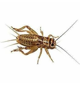 Cricket Supplier Crickets - Quantity discounts available- Please click