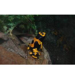 DART FROG D. Leucomelas Orange Banded Guyana