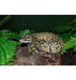 Ball Python Hypo Super Pastel