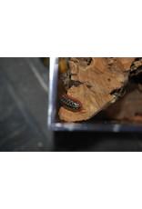 ISOPOD Armadillidium klugii montenegro Clown (x12) + Kit