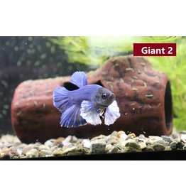 Betta Giant Bumbo MALE- Available for In-store or curb-side purchase only