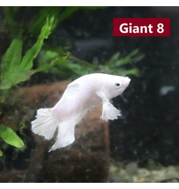 Betta Giant Dumbo Plakat MALE- Available for In-store or curb-side purchase only