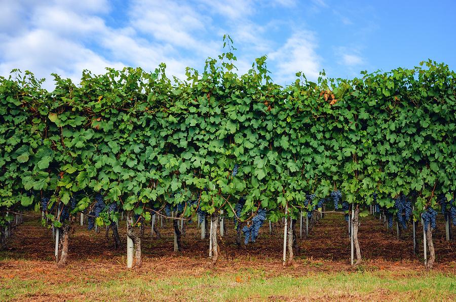 Nebbiolo vine training