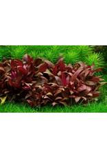 Tropica 1-2-GROW! Alternanthera reineckii 'Mini'
