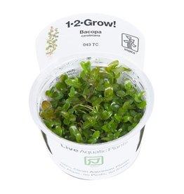 Tropica 1-2-GROW! Bacopa caroliniana