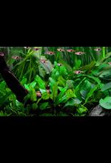 Tropica 1-2-GROW! Cryptocoryne wendtii 'Green'