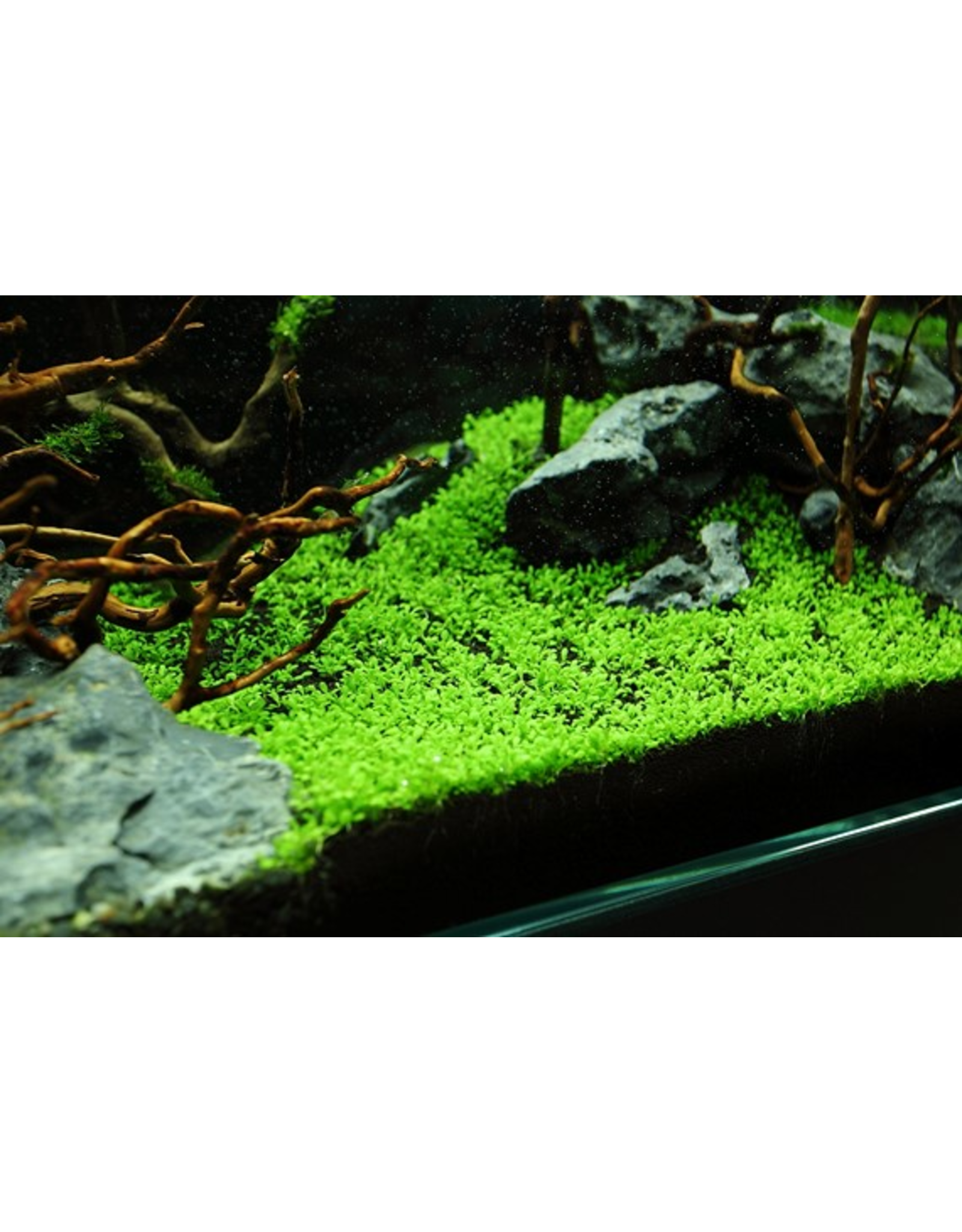 Tropica 1-2-GROW! Elatine hydropiper