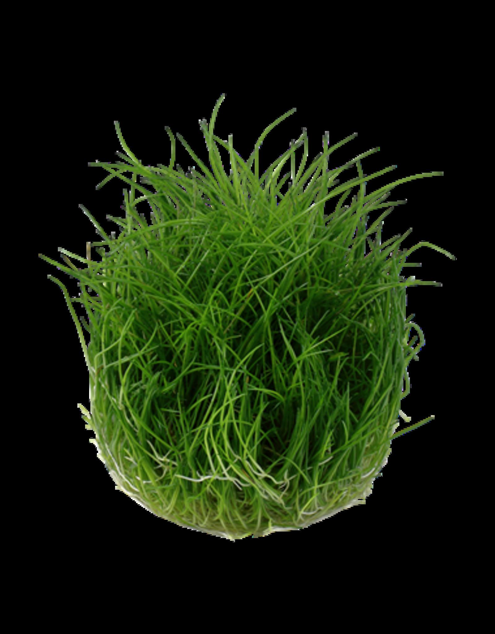 Tropica 1-2-GROW! Eleocharis acicularis 'Mini'