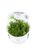 Tropica 1-2-GROW! Gratiola viscidula