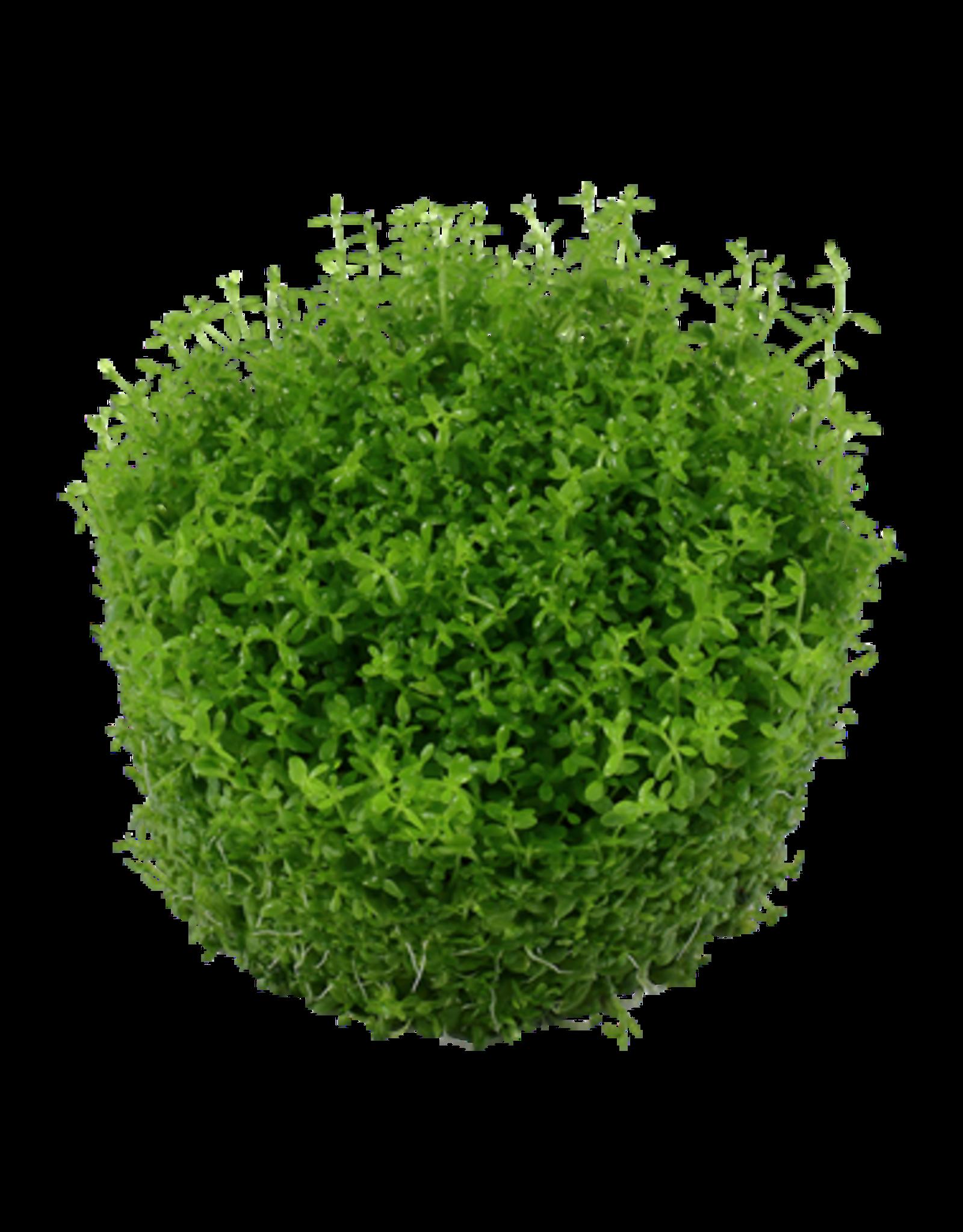 Tropica 1-2-GROW! Hemianthus callitrichoides 'Cuba'