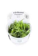 Tropica 1-2-GROW! Heteranthera zosterifolia