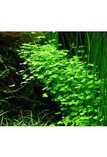 Tropica 1-2-GROW! Hydrocotyle tripartita