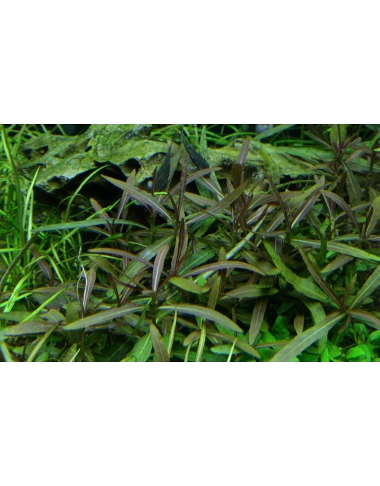Tropica 1-2-GROW! Hygrophila lancea 'Araguaia'