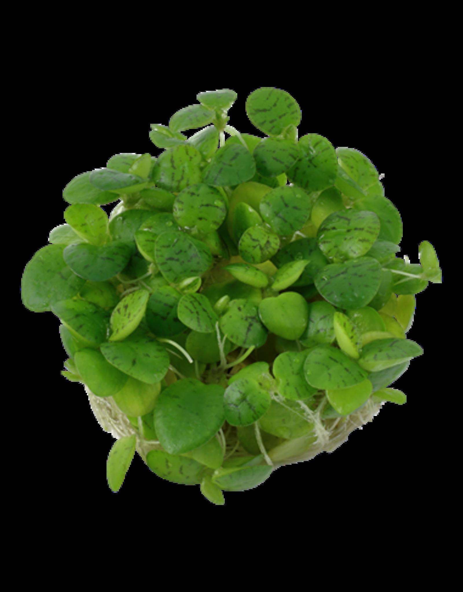 Tropica 1-2-GROW! Limnobium laevigatum