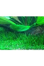 Tropica 1-2-GROW! Littorella uniflora
