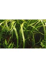 Tropica 1-2-GROW! Cryptocoryne crispatula