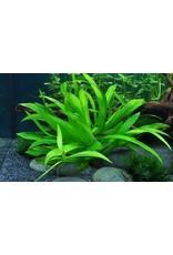 Tropica 1-2-GROW! Helanthium bolivianum 'Quadricostatus'