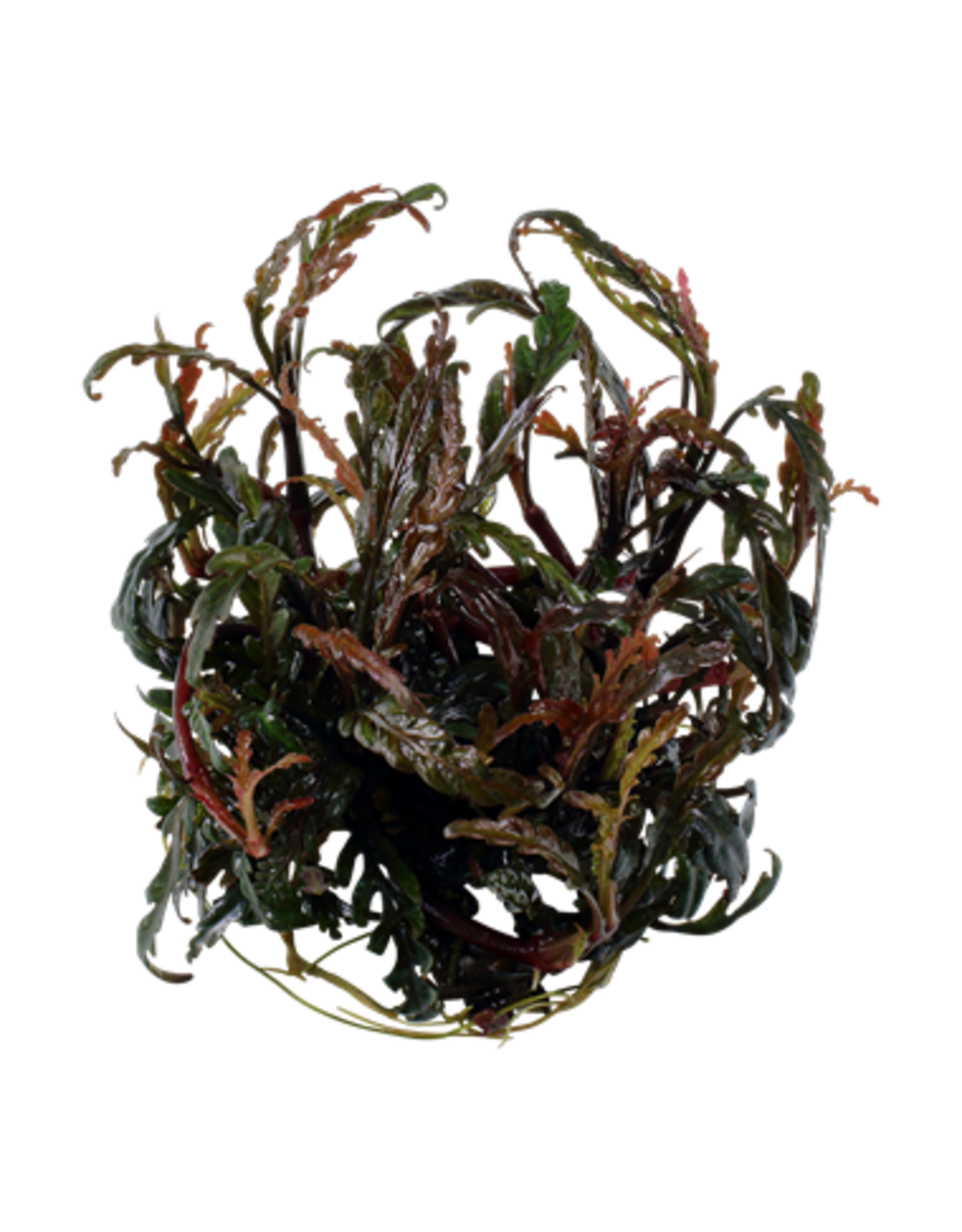 Tropica 1-2-GROW! Hygrophila pinnatifida