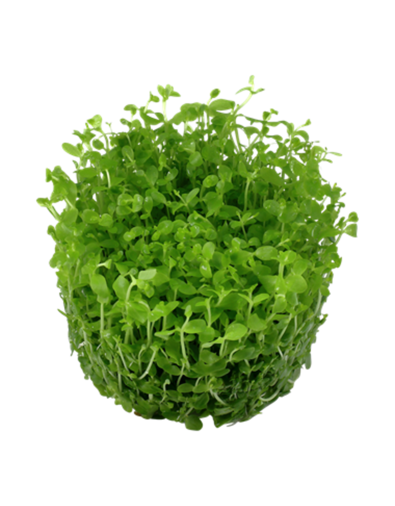 Tropica 1-2-GROW! Micranthemum 'Monte Carlo'