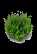 Tropica 1-2-GROW! Myriophyllum 'Guyana'