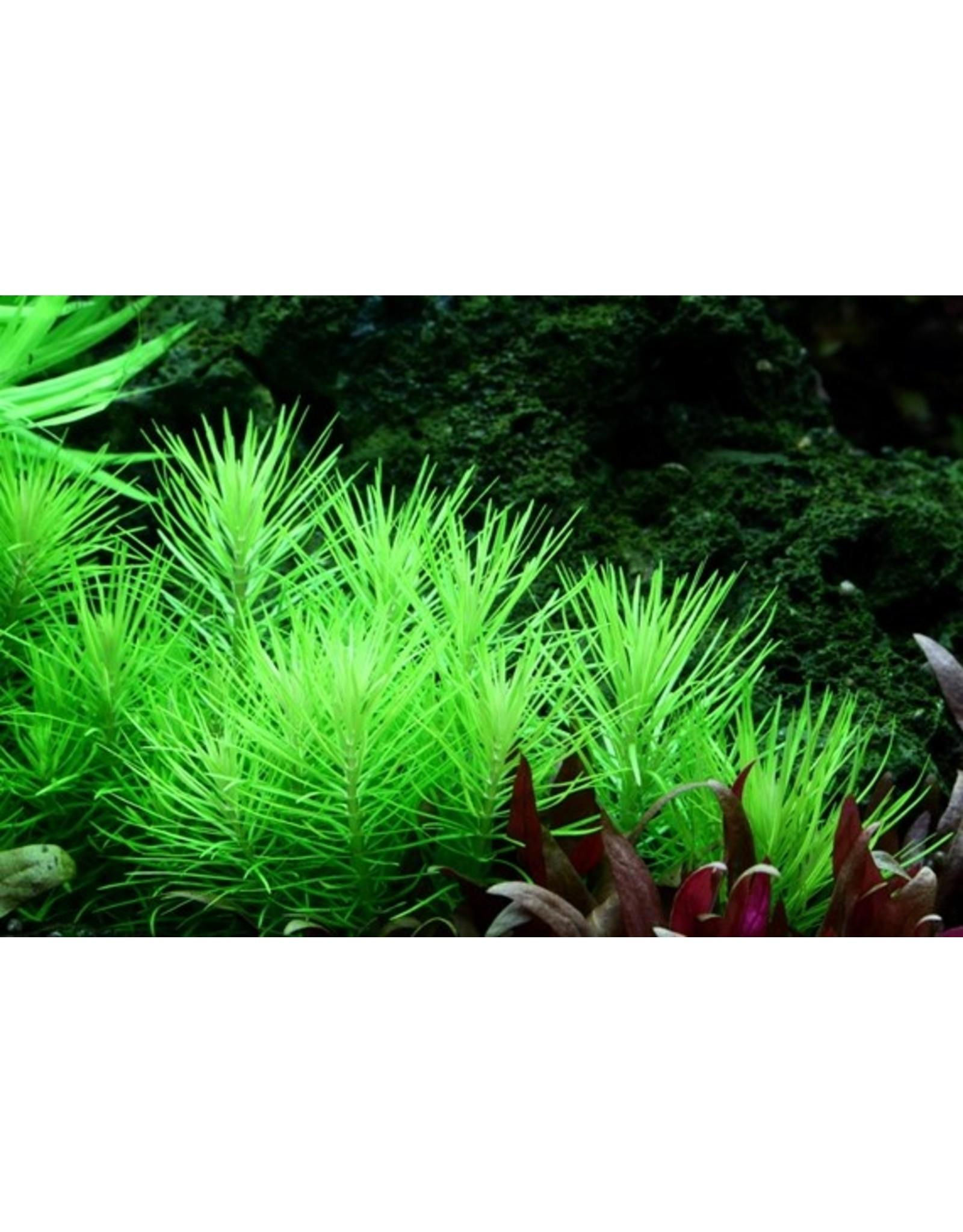 Tropica 1-2-GROW! Pogostemon erectus