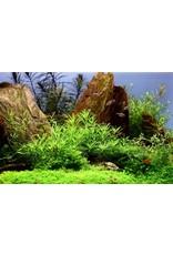 Tropica 1-2-GROW! Pogostemon helferi