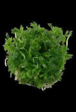Tropica 1-2-GROW! Ranunculus inundatus