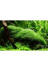 Tropica 1-2-GROW! Riccia fluitans