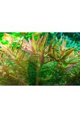 Tropica 1-2-GROW! Rotala 'Vietnam H'ra'