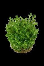 Tropica 1-2-GROW! Rotala indica 'Bonsai'