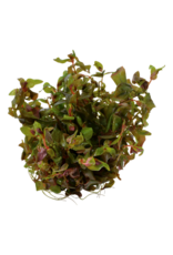Tropica 1-2-GROW! Rotala macrandra