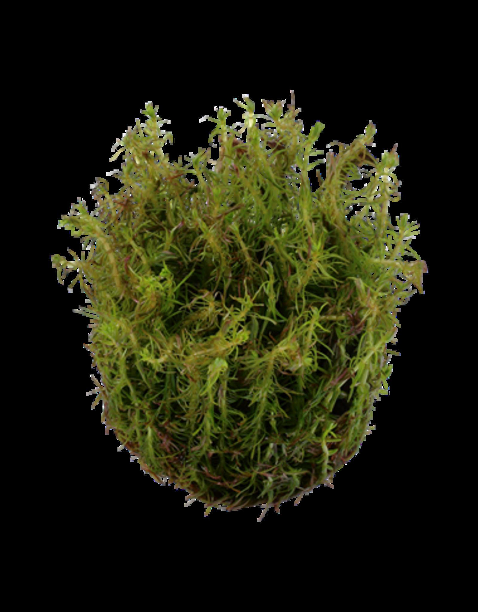 Tropica 1-2-GROW! Rotala wallichii
