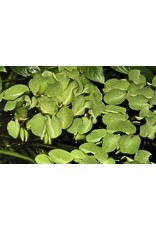 Tropica 1-2-GROW! Salvinia auriculata