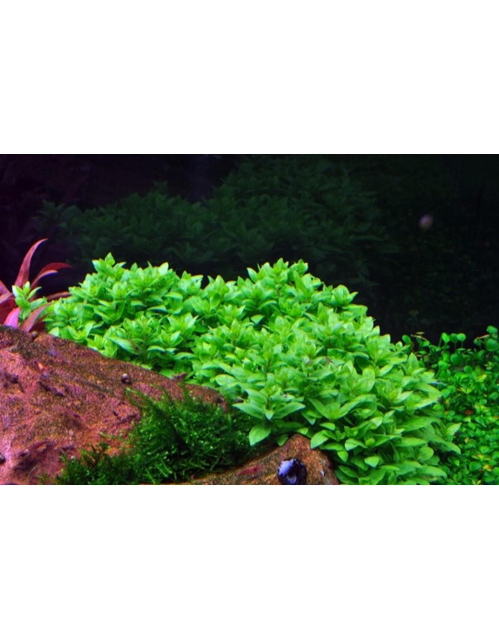 Tropica 1-2-GROW! Staurogyne repens