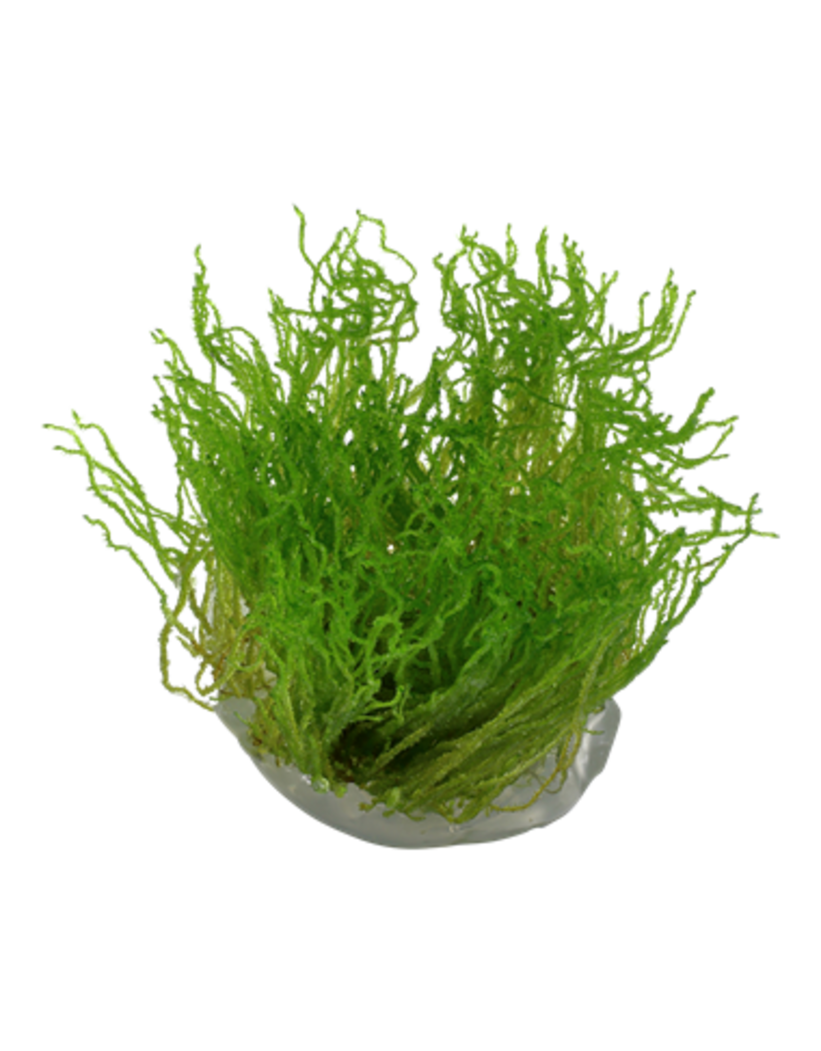Tropica 1-2-GROW! Taxiphyllum 'Flame'