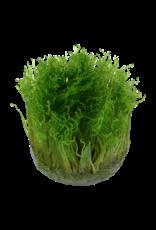 Tropica 1-2-GROW! Taxiphyllum 'Spiky'
