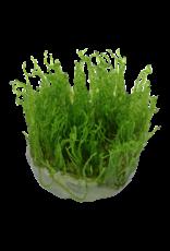 Tropica 1-2-GROW! Taxiphyllum alternans 'Taiwan Moss'