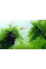 Tropica 1-2-GROW! Taxiphyllum barbieri