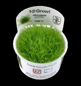 Tropica 1-2-GROW! Utricularia graminifolia