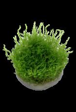 Tropica 1-2-GROW! Vesicularia dubyana 'Christmas'