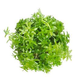 ABC Plants ABC PLANTS - Tonina fluviatilis