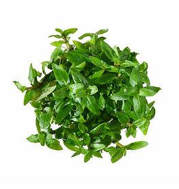ABC Plants ABC PLANTS - Staurogyne repens