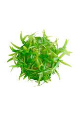 ABC Plants ABC PLANTS - Sagittaria subulata