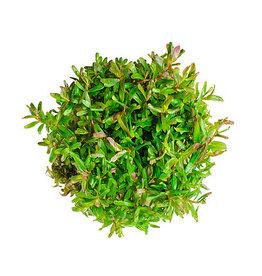 ABC Plants ABC PLANTS - Rotala Vietnam H'ra
