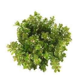 ABC Plants ABC PLANTS - Rotala rotundifolia