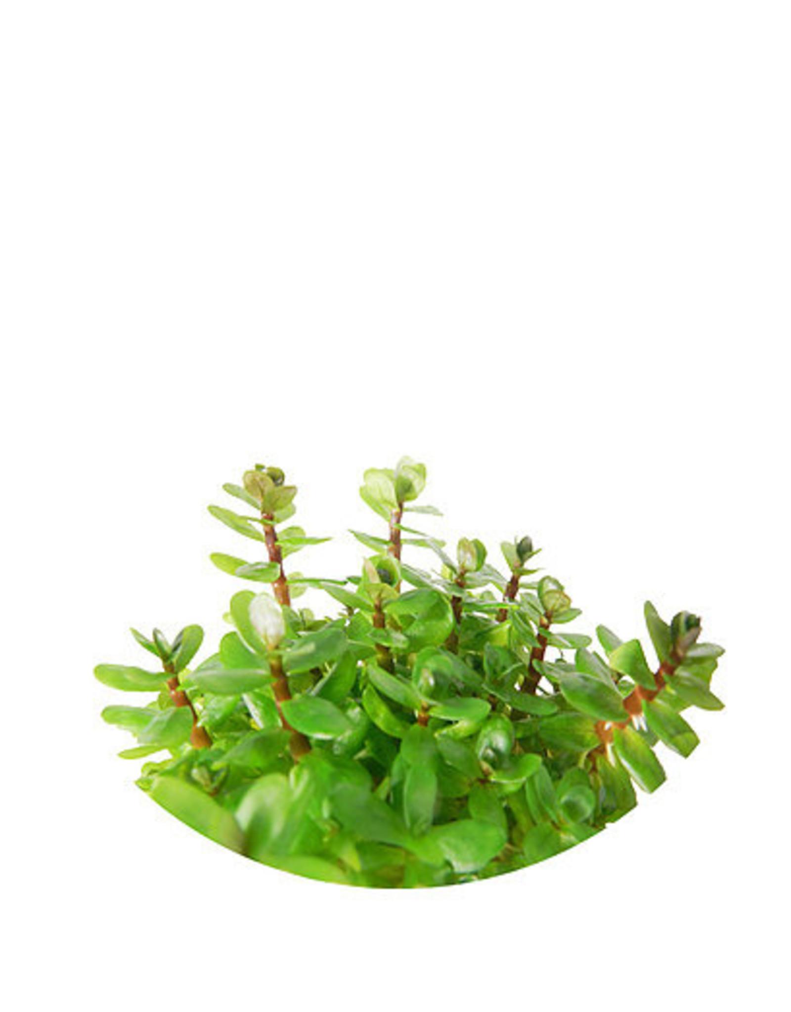 ABC Plants ABC PLANTS - Rotala robustus 'mini' (aka. Ammania bonsai)