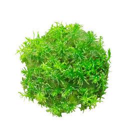 ABC Plants ABC PLANTS - Rotala nanjenshan