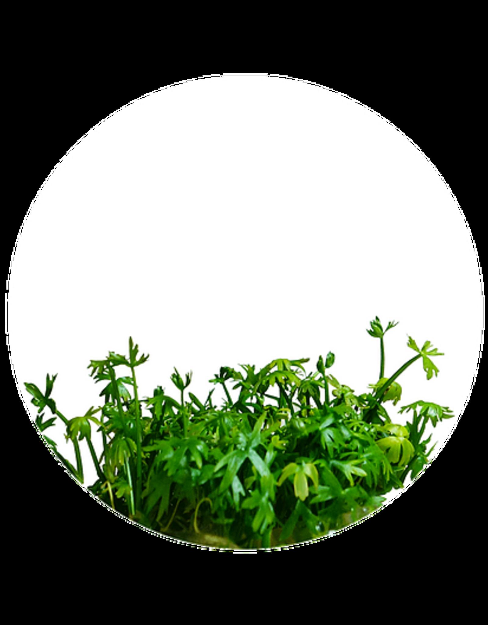 ABC Plants ABC PLANTS - Ranunculus inundatus