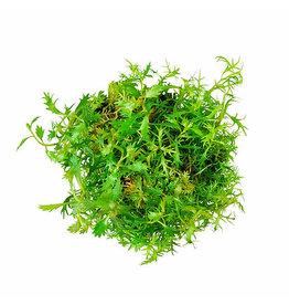 ABC Plants ABC PLANTS - Proserpinaca palustris